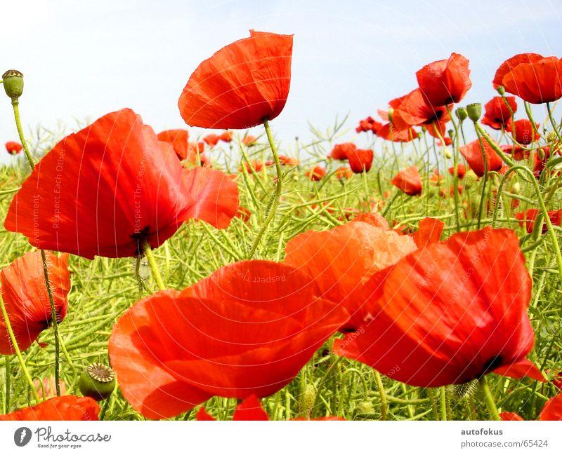 Mohnblumen Blume rot Farbe Feld Blumenfeld
