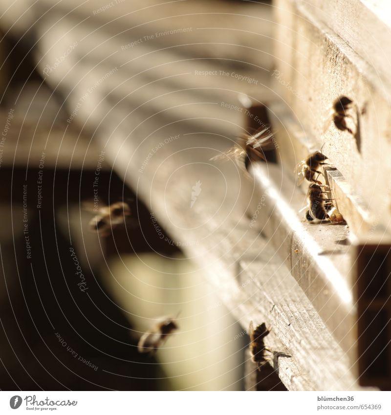 unermüdlich Tier Nutztier Biene Honigbiene Insekt Schwarm Arbeit & Erwerbstätigkeit fliegen tragen ästhetisch klein schön Tierliebe Tierlaute Frühlingsgefühle