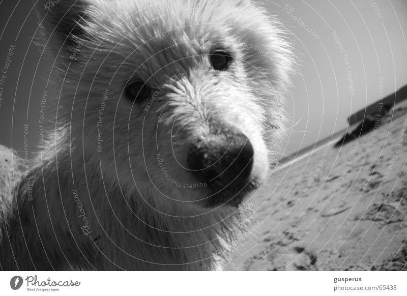 { greyhound III } Hund Husky Strand Physik Portugal schön Wärme Sand Wasser Bucht Schönes Wetter zutraulich junger hund Schwarzweißfoto dog heat water bay