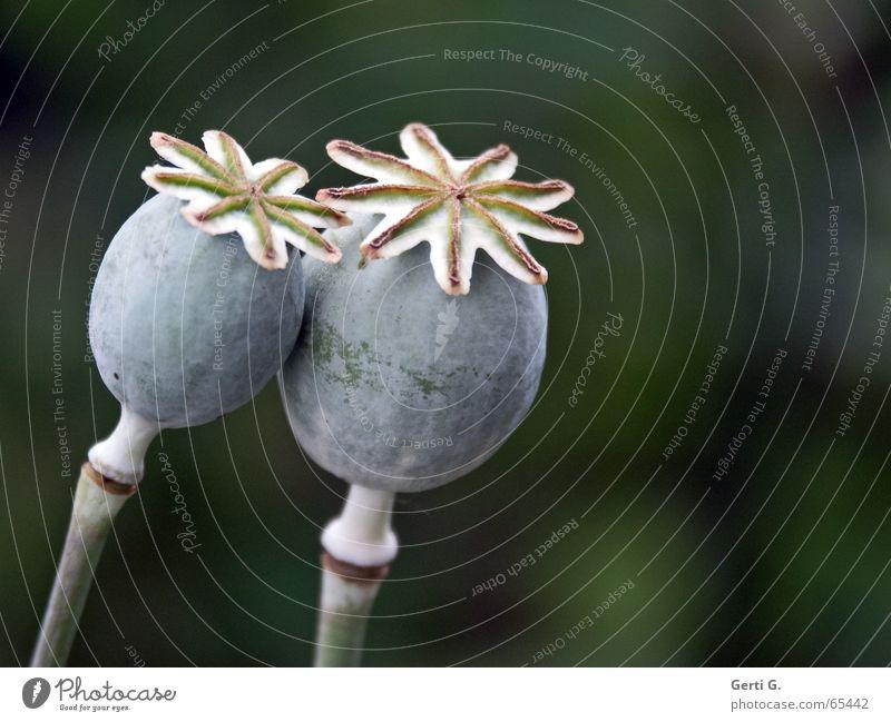 lean on grün Liebe grau 2 Zusammensein Stern (Symbol) paarweise Küssen Stengel Samen Schaukel Blütenknospen Stempel Mohn Schlafmohn