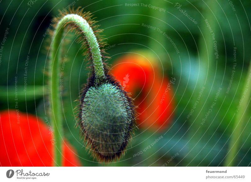 nod one's head Blume grün Pflanze rot Sommer Blüte Garten Mohn Samen Blütenknospen