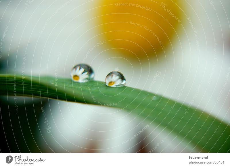 Naturlupe Gänseblümchen Blüte Sommer gelb grün Reflexion & Spiegelung Wassertropfen margarite Lupe Sonne Margerite