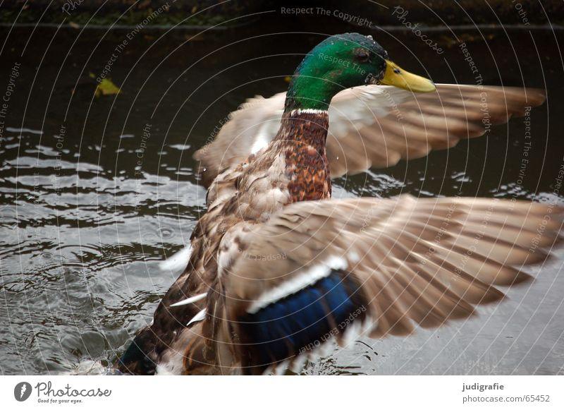 Morgenwäsche Vogel Stockente Wäsche Feder mehrfarbig Teich flattern Erpel wasser see Ente Beginn