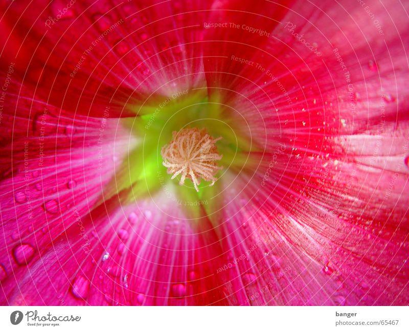 Früchte tragen können nur die Blüten die verwelken Malvengewächse Sommer Magdeburg rot Blume Saft Seil Regen Wassertropfen