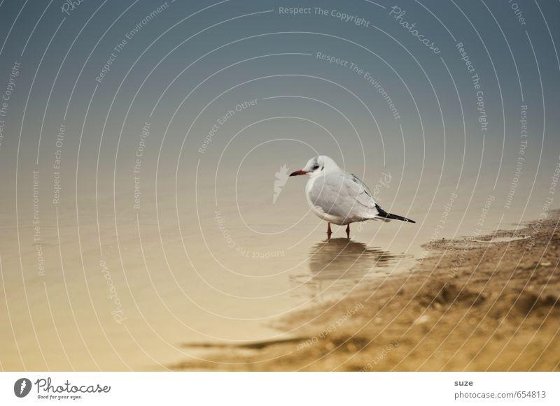 Maultasche in Brühe ruhig Strand Meer Natur Tier Sand Wasser Küste Ostsee Wildtier Vogel 1 stehen warten klein nass natürlich Neugier niedlich trist Trauer