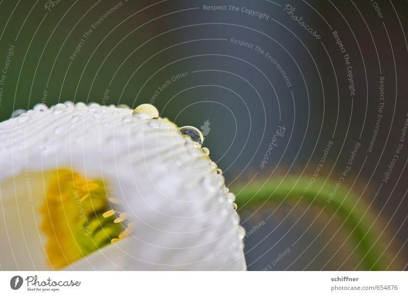 Halbe Sachen   auf den Tropfen kommt's an! grün weiß Pflanze Blume gelb Frühling Blüte Garten Regen nass Wassertropfen Blütenknospen Tau Blütenpflanze