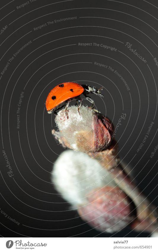happy Natur Pflanze Tier Frühling Blüte Wildpflanze Wildtier Käfer 1 krabbeln orange schwarz silber Glück Lebensfreude Frühlingsgefühle Marienkäfer Insekt