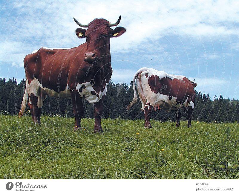 Kühe auf der Ebenforstalm Tier Kuh Alm Rind