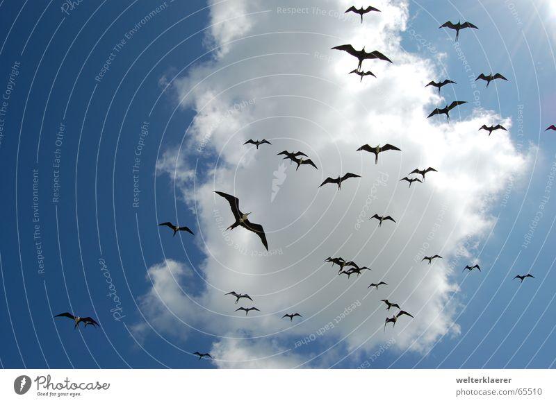 Invasion mexikanischer Fregattvögel Himmel Wolken Tier Luft Vogel Mexiko Nationalpark Yucatan blau-weiß