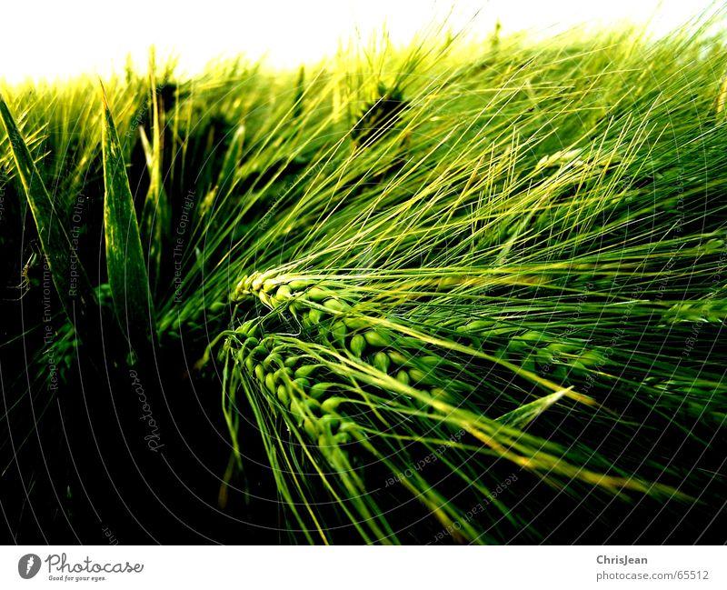 Gerste 2 Natur schön Himmel weiß grün ruhig gelb Erholung Arbeit & Erwerbstätigkeit Feld glänzend Hintergrundbild Wachstum Amerika Halm