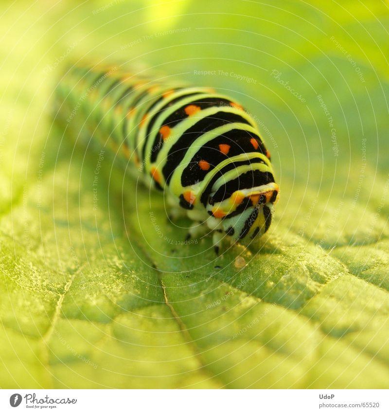Überlänge grün Sommer Tier Insekt lang Schmetterling Raupe Schwalbenschwanz