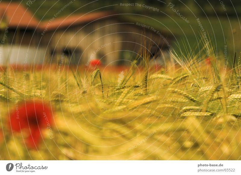Sommertraum rot gelb Feld Getreide Mohn Klatschmohn
