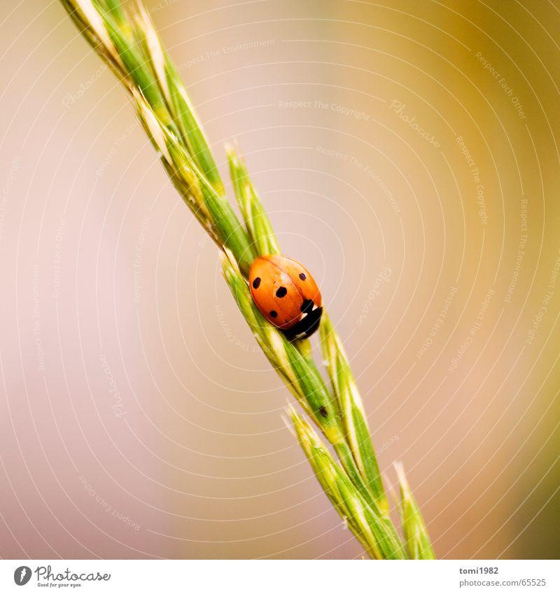 marienkäfer Marienkäfer Gras Tier Insekt Sommer Wiese klein fein süß Mitte Top Korn highnoon Natur Leben Erde