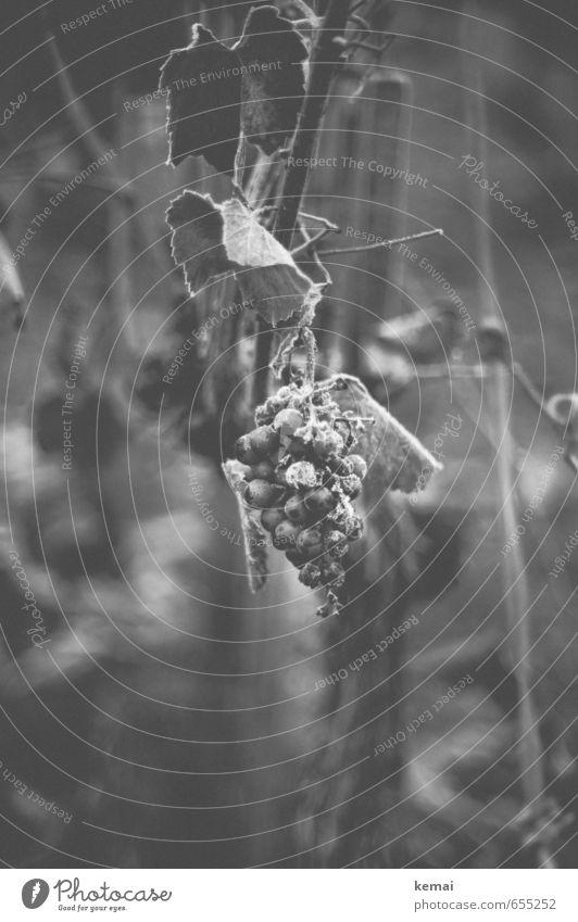 Winterwein Lebensmittel Frucht Umwelt Natur Eis Frost Pflanze Blatt Nutzpflanze Wein Weintrauben hängen Wachstum dunkel kalt gefroren Schwarzweißfoto