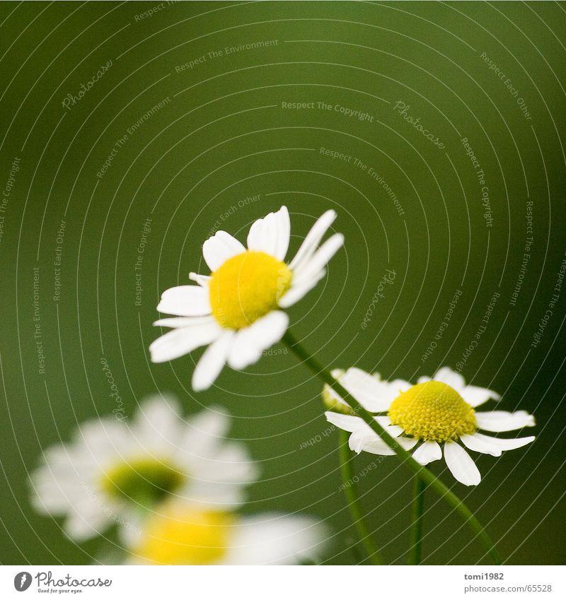 Sommertag Gänseblümchen Gras Wiese klein fein süß Mitte Top Blume highnoon Natur Leben Erde