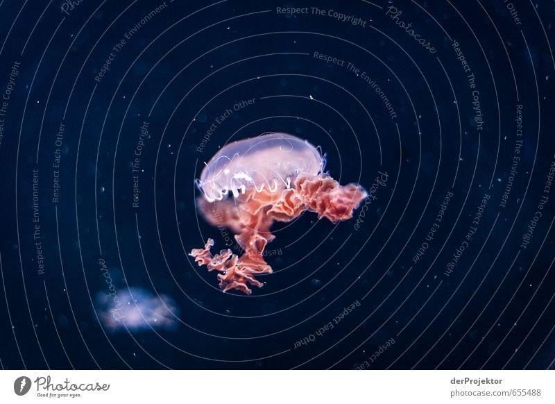 Qualle in Pink Umwelt Natur Tier Wasser Klima Nordsee Ostsee Meer Aquarium 1 ästhetisch sportlich authentisch außergewöhnlich bedrohlich Bekanntheit hässlich