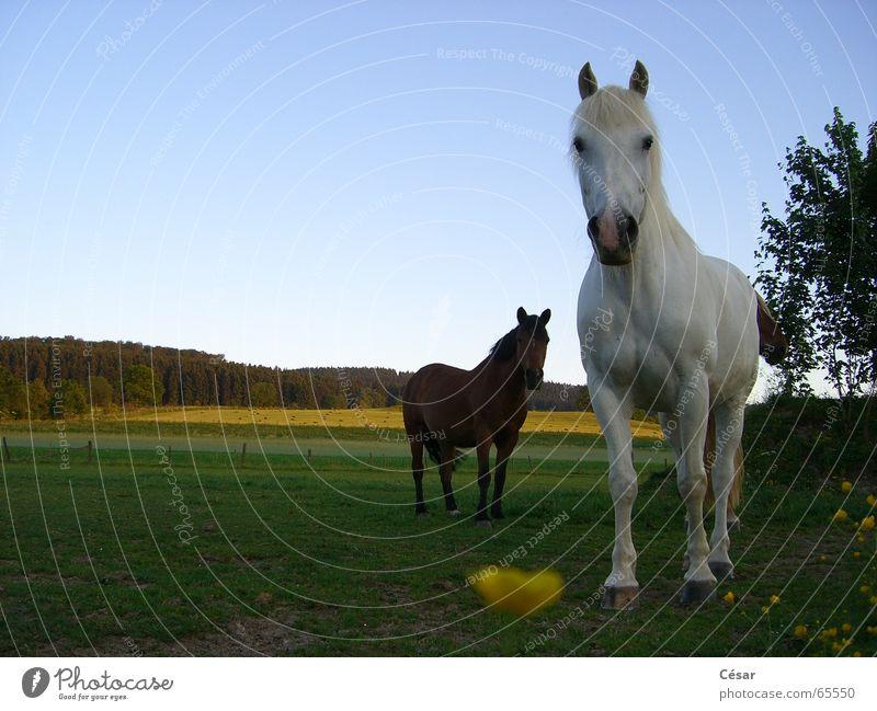 Deux chevaux au soleil couchant Pferd Wald Sauerland Wiese Landleben Schimmelpilze braun Abend Amerika