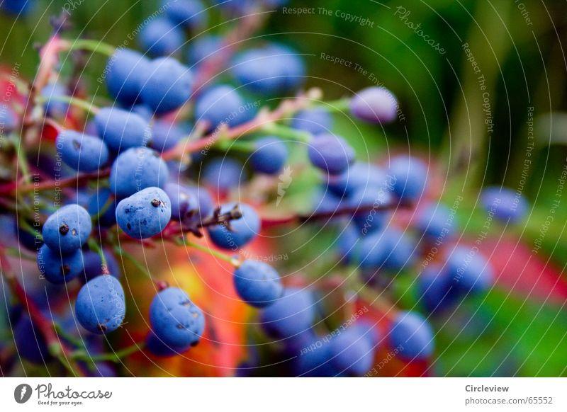 Wie, die blauen sind giftig? Vogelbeeren Pflanze Denken Perle Sommer frisch Umwelt schön Wunder mehrfarbig prächtig Natur Frucht Herbst splendour bird berries