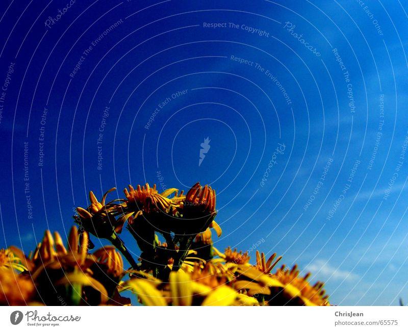Flowers Blume gelb gegen ausrichten Blüte verwaschen blau-gelb Himmel Verkehrswege stengelansatz aufwärts