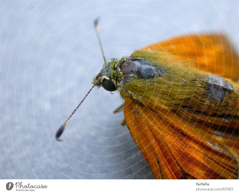 Farfalla Freiheit grau orange fliegen Flügel Schmetterling Fühler