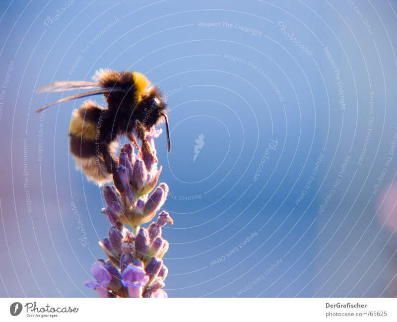 besitzergreifend Natur Pflanze Blume Ernährung oben Lebensmittel Blüte Arbeit & Erwerbstätigkeit sitzen Flügel Spitze Aussicht Gipfel Insekt Konzentration Biene