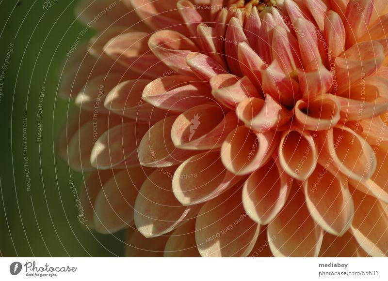 Blume, orange, grün Pflanze rot lachsfarben