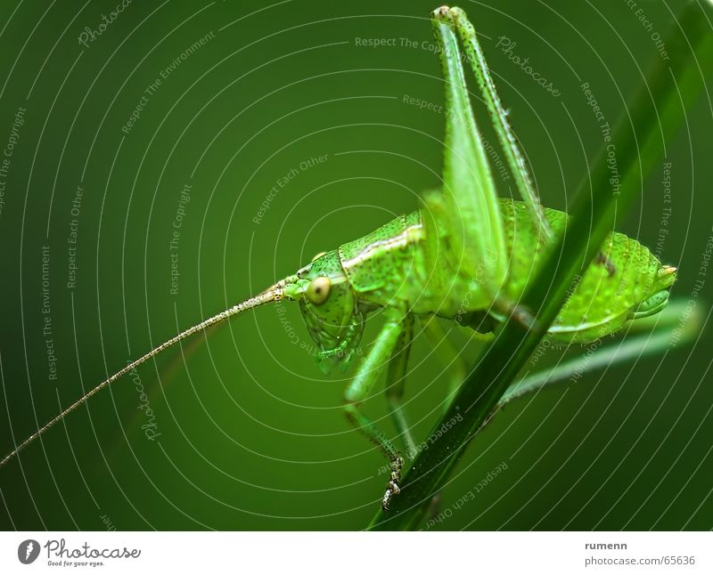 grasshopper Schiffsbug springen Makroaufnahme animal insect big outddor