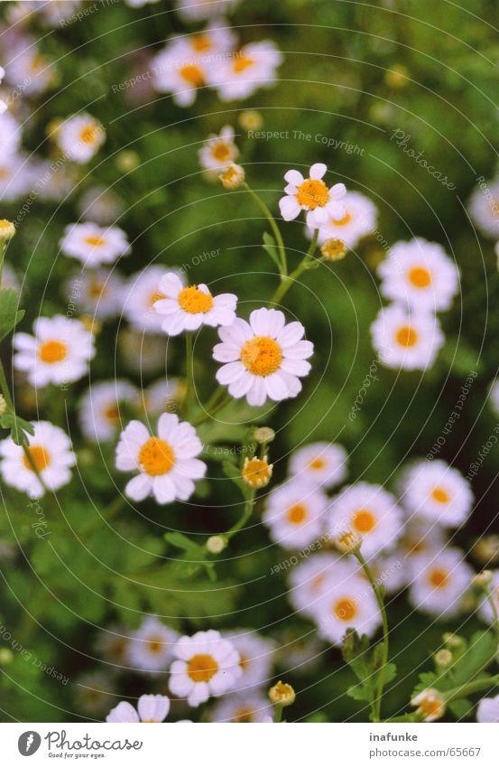kleine weisse Natur weiß Blume grün Pflanze gelb Botanik