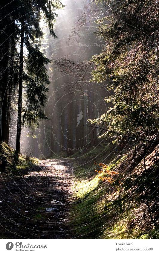 dunkler Wald nach Regenschauer Licht Sonnenstrahlen Baum wandern Wege & Pfade
