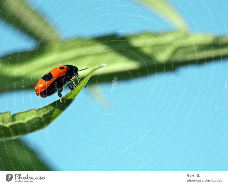 GLÜCKskäfer Himmel grün blau Glück frei frisch Fröhlichkeit Flügel Insekt Seite Marienkäfer frech Fühler himmelblau gepunktet Blattgrün