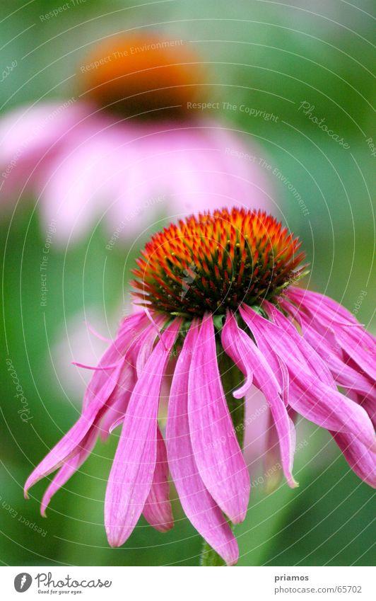 Hänger... Blume mehrfarbig rot violett nah Makroaufnahme flower coloured welk