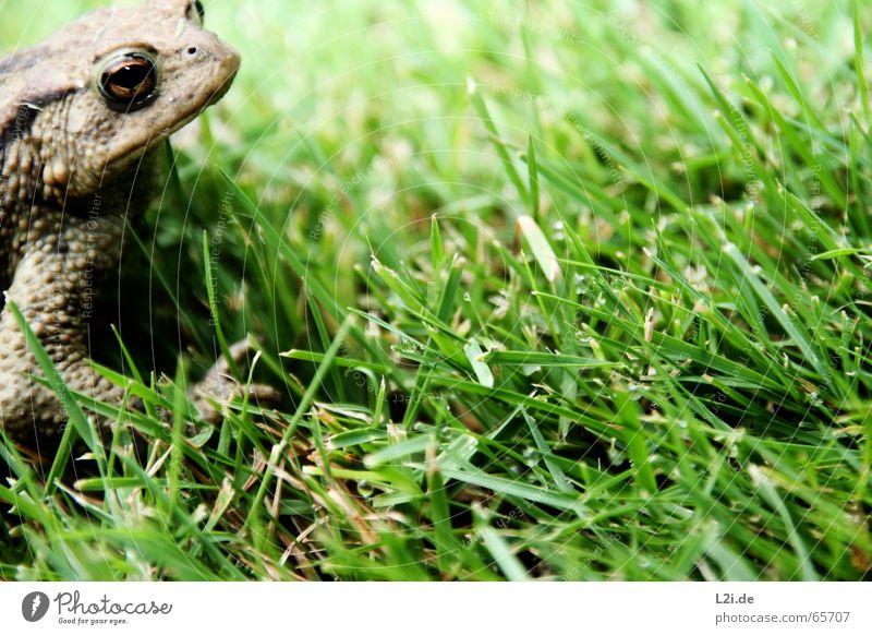KERMIT ON TOUR Wassertropfen grün braun Tier Wiese Frosch Kröte Rasen Auge frog Natur