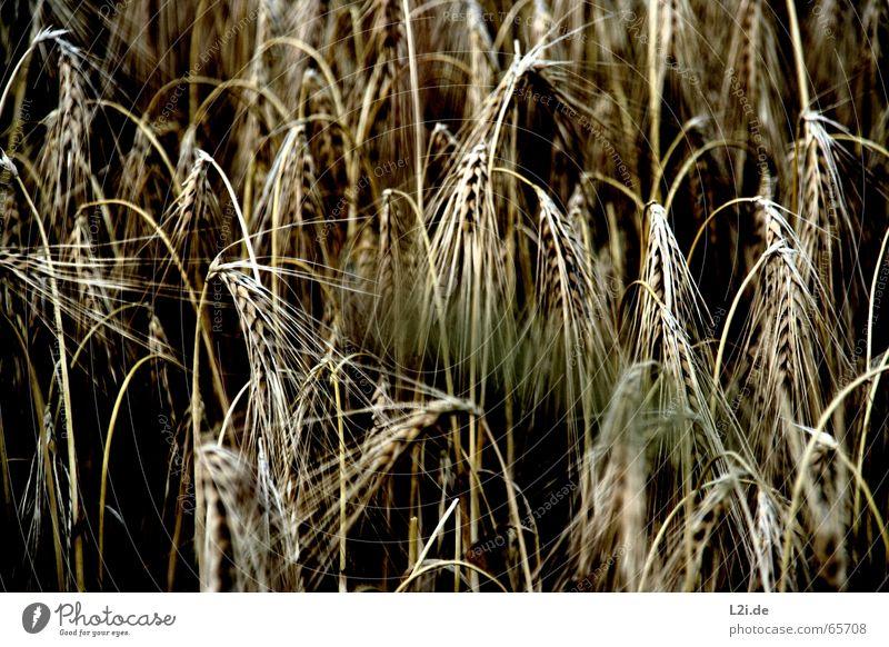 HANG THE HEAD Feld schwarz braun gelb Weizen Roggen Hafer Sommer Getreide Ernte stroh strohhalme Natur Bioprodukte