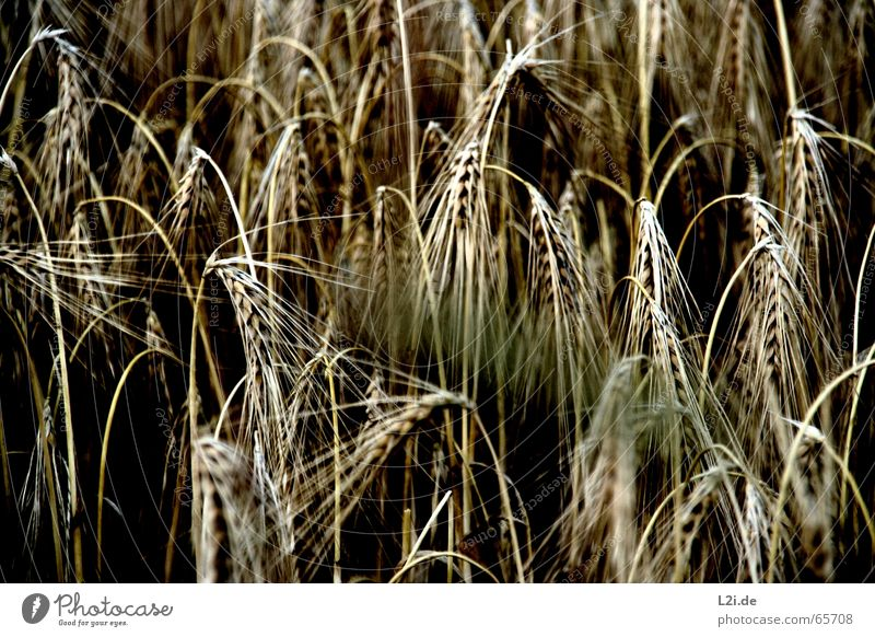 HANG THE HEAD Natur Sommer schwarz gelb braun Feld Getreide Ernte Bioprodukte Weizen Roggen Hafer