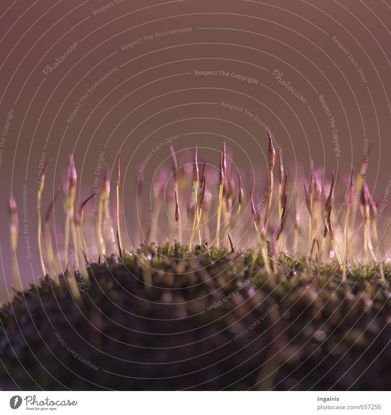 Lila Natur Pflanze Frühling Moos leuchten Wachstum klein natürlich grün violett Stimmung Frühlingsgefühle Leben Sprossen sprießen Moospolster zart fein