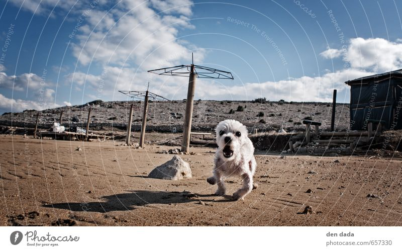 Tiny Fluffy Aggressive Hund Himmel Tier Strand Bewegung lustig außergewöhnlich Sand wild Geschwindigkeit verrückt niedlich Wut rennen Mut Haustier