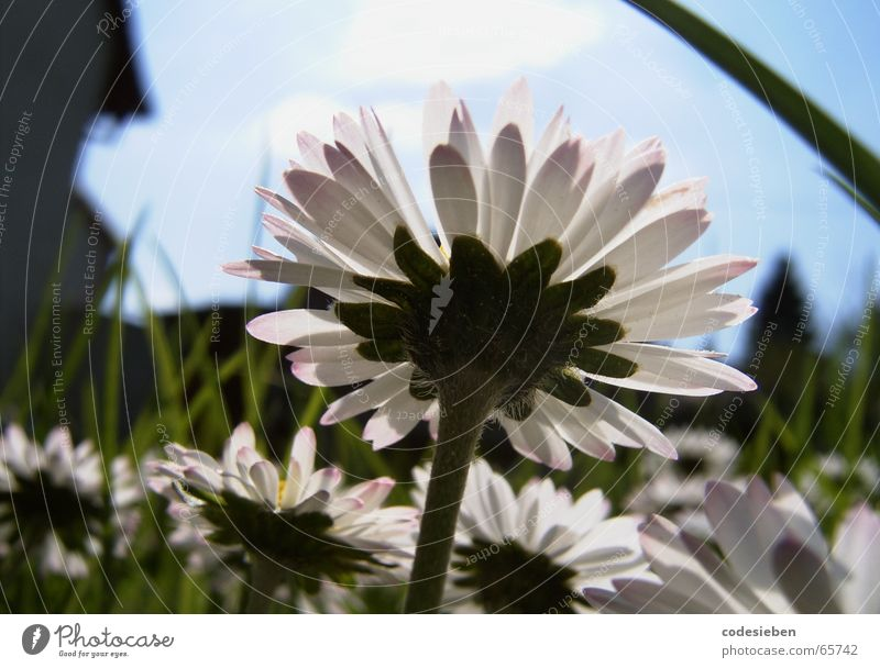 Ich bin ein Gänseblümchen Wiese grün saftig Gras lang Sommer heiß Haus Unschärfe Gans Blume dem gänseblümchen seine freunde Himmel blau Sonne unklar