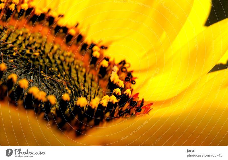 Sonnenseite Sonnenblume Blume Blüte Sommer gelb frisch Gute Laune Makroaufnahme Nahaufnahme Stempel Natur Garten jarts