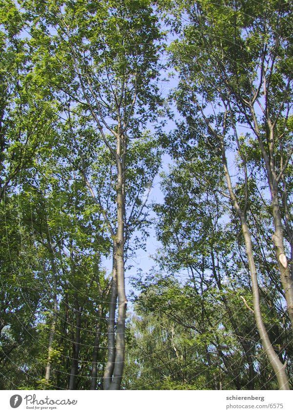 Skytrees Himmel Baum grün