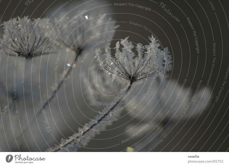 Eisblümchen Winter kalt Schnee Eis Frost zart gefroren Stimmung Kristallstrukturen Eiskristall Eisblumen Schneekristall Winterstimmung