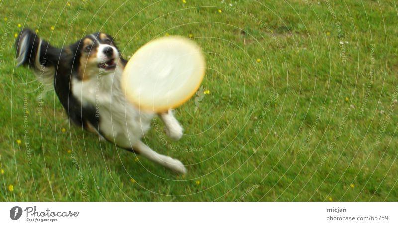 Einfach spass haben weiß grün Freude schwarz Tier Wiese springen Spielen Bewegung Hund braun rennen Geschwindigkeit Aktion Rasen Freizeit & Hobby