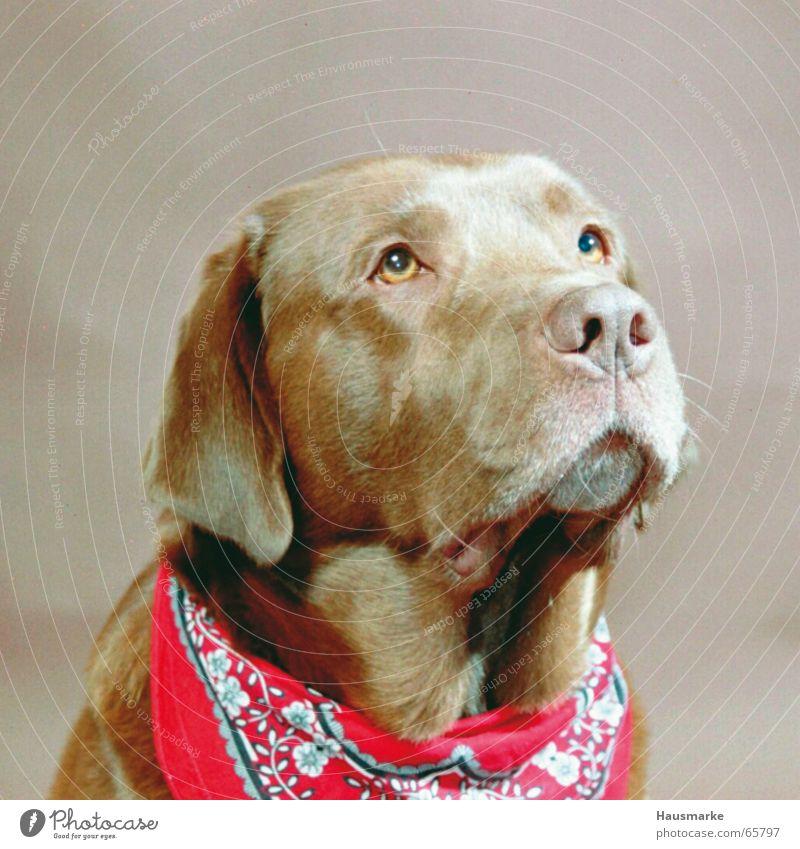 Doggy style Labrador Hund braun Bart Schnauze Tier Halstuch