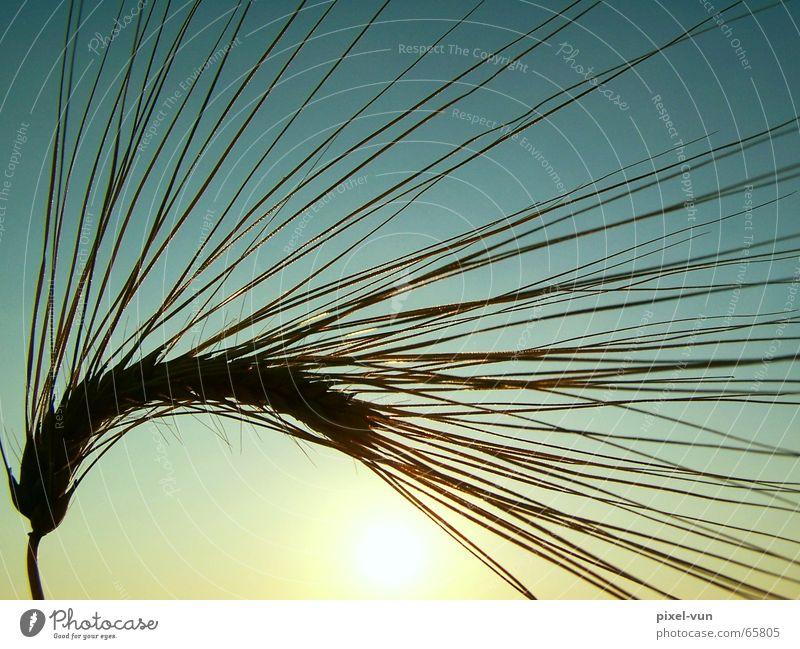 Ehre der Ähre schön Feld Lebensmittel Ernährung Landwirtschaft Getreide Korn Ernte reif Abenddämmerung Kornfeld Backwaren Teigwaren verblüht Reinheit