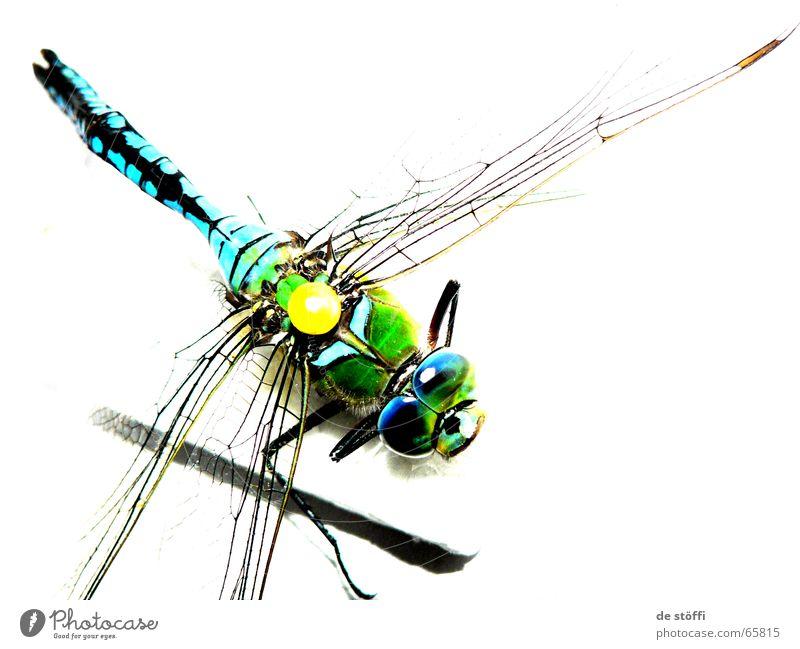 die.königin.libelle. Tier Farbe Tod Flügel Insekt Biologie strahlend Libelle Große Königslibelle