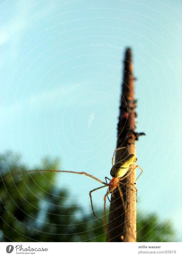 SPIDER Himmel Baum Insekt Ekel Stock Oder Spinne zusätzlich