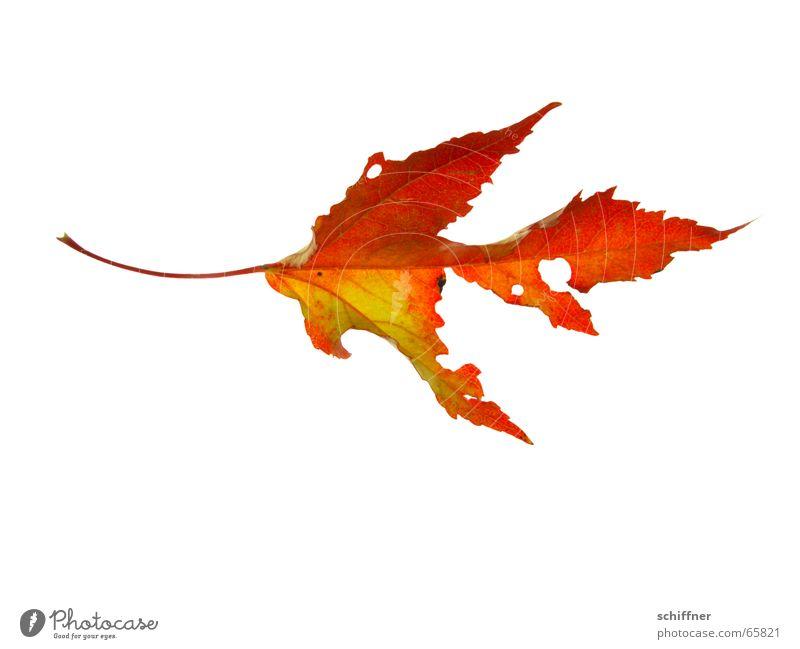 Herbstlaub I mehrfarbig Freisteller Blatt kaputt gelb rot Indian Summer zerfressen Reihe herbstlich Loch leuchtende Farben Stengel