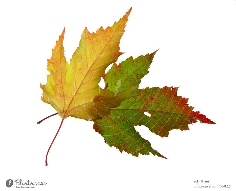 Herbstlaub II mehrfarbig Freisteller Blatt Zusammensein gelb rot Indian Summer Reihe herbstlich Loch leuchtende Farben Stengel Ehe alt