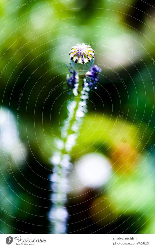 Mohn 3 grün Pflanze Blatt Coolness Schicksal laublos