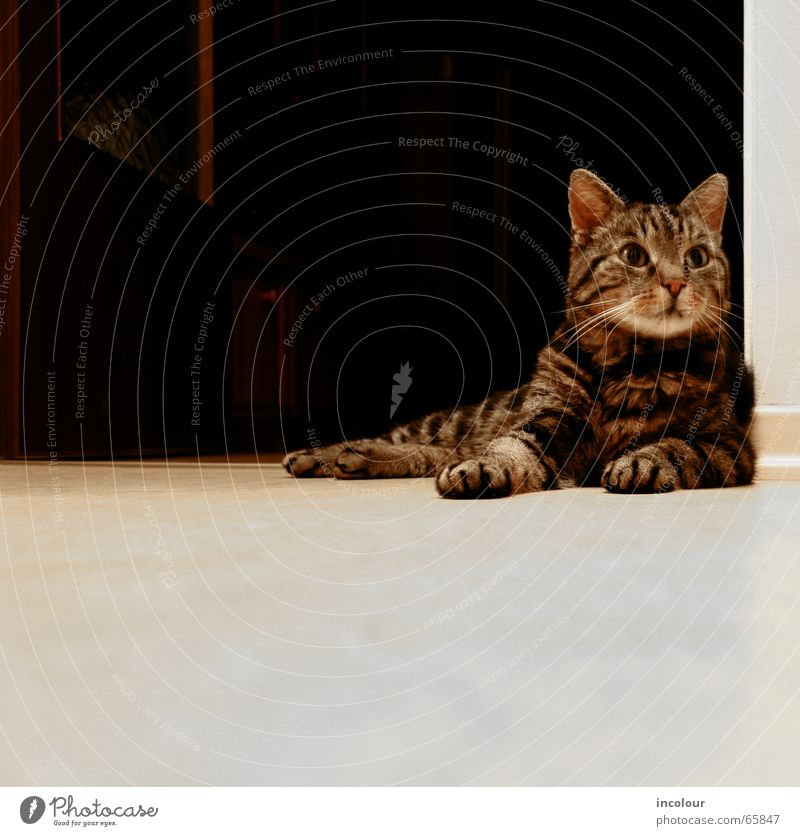 chillout Katze Hauskatze braun Katzenbaby bequem Pfote Schnurren Tigerkatze Tier Blick liegen Wachsamkeit Textfreiraum unten Textfreiraum links ruhig
