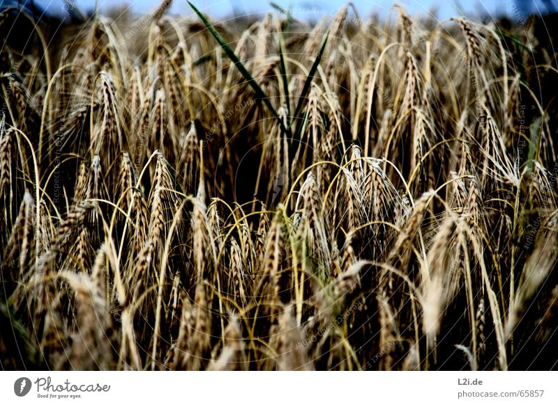HANG THE HEAD PART II Natur Sommer schwarz gelb braun Feld Getreide Ernte Bioprodukte Halm Weizen Stroh Roggen Hafer